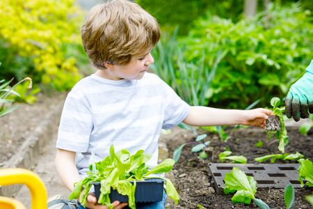 Cute little preschool kid boy and mother planting green salad in spring. Close-up of hand of adult and child having fun together with gardening. Kid helping in domestic vegetable garden. Archivio Fotografico