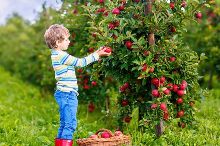 Active happy blond kid boy picking and eating red apples on organic farm, autumn outdoors. Funny little preschool child having fun with helping and harvesting. Foto de archivo