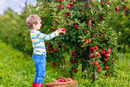 Aktiver glücklicher blonder Junge, der rote Äpfel auf Bio-Bauernhof, Herbst im Freien pflückt und isst. Lustiges kleines Vorschulkind, das Spaß mit dem Helfen und Ernten hat. Standard-Bild