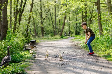 Adorable little school kid boy feeding wild geese family in a forest park. Happy child having fun with observing birds and nature Reklamní fotografie