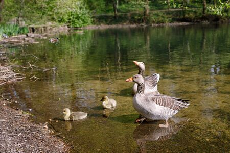 Wild geese family on a lake, group of water birds. Reklamní fotografie
