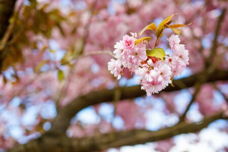 Scenic springtimeview of beautiful pink cherry sakura trees in blossom in a city. Blooming beauty on sunny spring day.