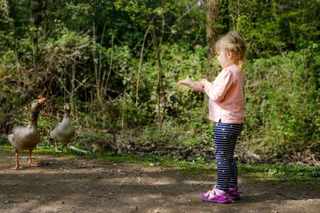 Cute little toddler girl feeding wild geese family in a forest park. Happy child having fun with observing birds and nature
