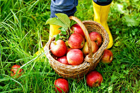 Closeup of basket with red apples and rubber boots on little kid, boy or girl on organic farm, autumn outdoors. Toddler child having fun with helping and harvesting. Banque d'images