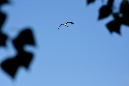 black stork: Black stork in flight