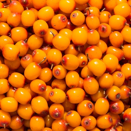 A square background of ripe sea-buckthorn berries. Stock Photo