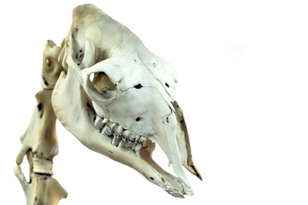 The skull of a camel is close-up. Isolated on white background picture for a scientific or veterinary topics.