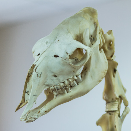 The skull of a camel is close-up. A real museum exhibit. A square picture .