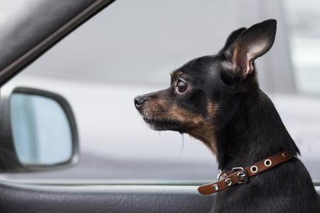 A lonely dog is a miniature pinscher sitting inside a passenger car and looking sadly forward. Stock Photo