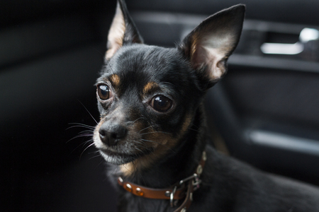 A dogs sad look. Dwarf pinscher in a collar inside a car on a dark background. Stock Photo