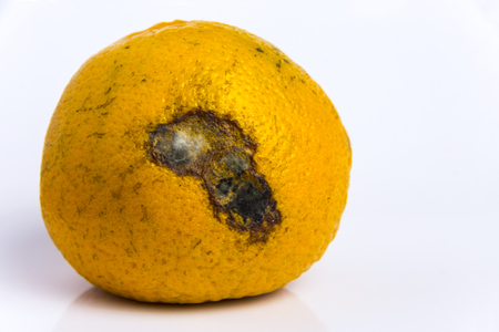 Mold on a ripe orange mandarin. Spoiled Citrus Rotten fruit lies on a white background. Copy space. Close-up.