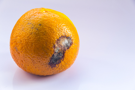 Citrus Fruit is rotten. An orange mandarin with a mold ulcer on a white background. Copy space. Close-up. Stock Photo