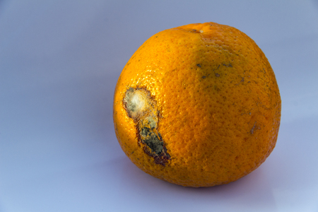 Spoiled Citrus Fruit is rotten.Orange mandarin with mildew on a blue background. Copy space. Close-up.