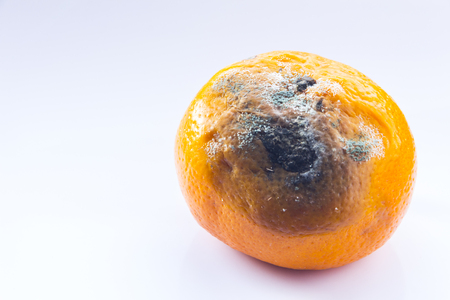 Citrus covered with mold. Rotten mandarin on a white background. A spoiled fruit. Copy space. Close-up.