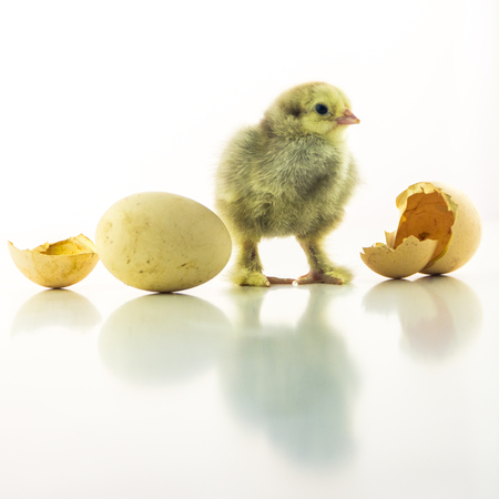 A gray newborn chick near the egg is waiting for another to hatch. White background, square picture.