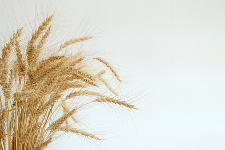 Several ears of wheat lay flat on a white background.