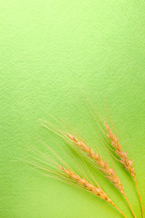 Three spikes of wheat on the right of the green background. 版權商用圖片