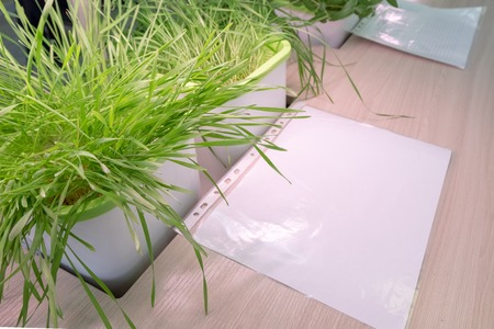 Green wheat sprouts and a white sheet of paper on the table. Hydroponics. The method of growing plants in water without land in the laboratory. Biological and botanical experiments at school and at home.
