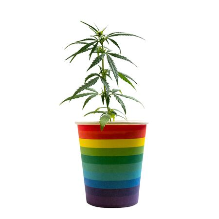 Home grown hemp. Young sprout of marijuana in a rainbow-colored cup. Isolated on white. LGBT concept and cannabis. Freedom, equality and love, pleasure and drugs. Banco de Imagens - 130667567