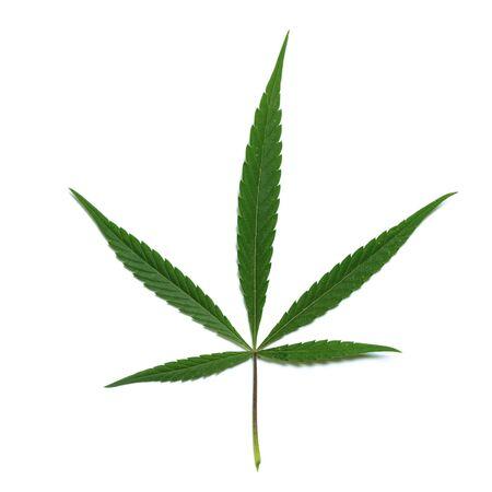 Green leaf of hemp, cannabis, marijuana. White background. Symbol of legalization or plant of medical purpose. Square frame.