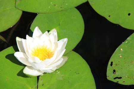 White water lily on calm pond surface photo