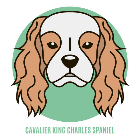 Portrait of Cavalier King Charles Spaniel isolated on a white background.