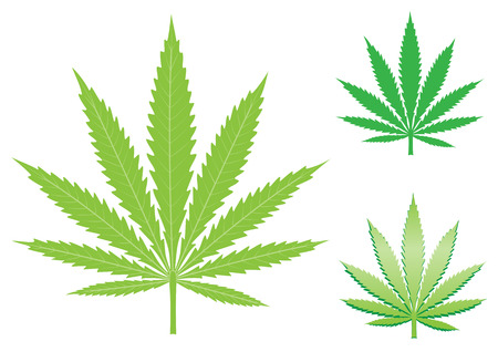 green hemp, cannabis leaf isolated on the white background