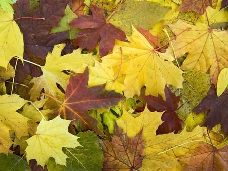 beautifu: the  beautifu autumn leaves season  background