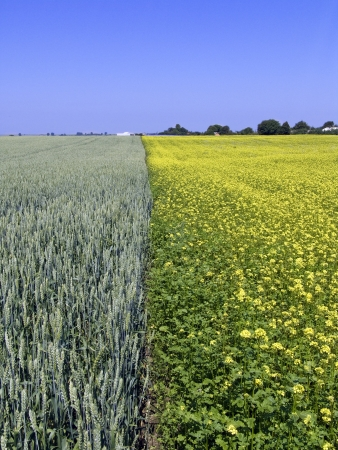 propellant: wheat and rape field Stock Photo