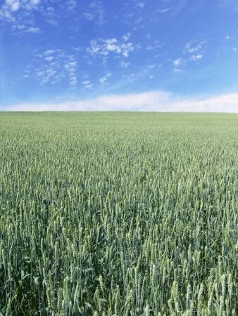 immature wheat field vertical Stock Photo - 14235854