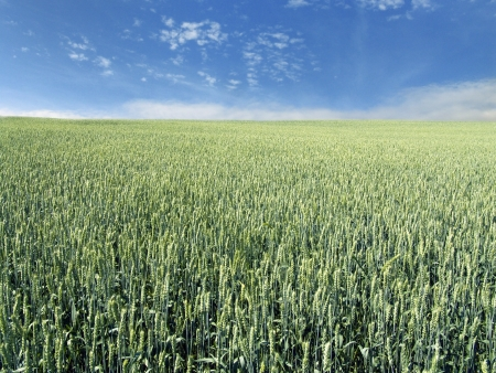 immature wheat field Stock Photo - 14235856