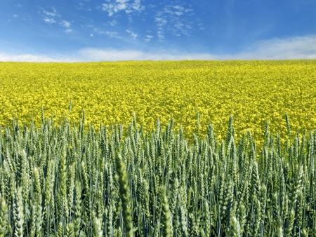 propellant: The beautiful rape and wheat field and clear blue sky, agriculture theme Stock Photo