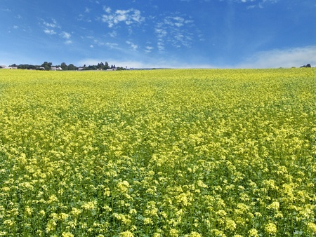 The beautiful rape field, farm and clear blue sky, agriculture theme photo