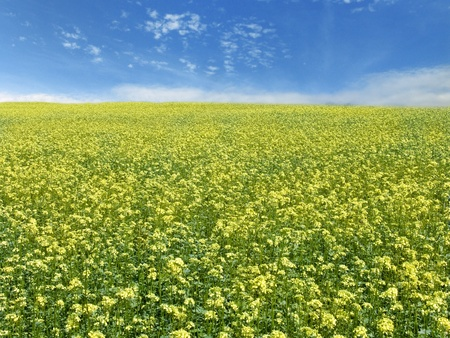 The beautiful rape field and clear blue sky, agriculture theme photo