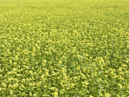 propellant: The beautiful rape field background, agriculture theme Stock Photo