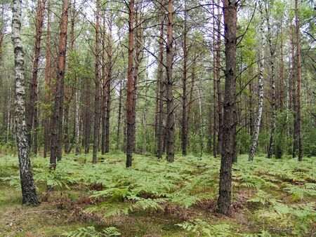 The mixed forest, birch and pine trees with fern bottom, beautiful wild nature landscape Stock Photo - 15652709