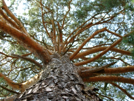 The large pine tree with beautiful branches, macro photography Stock Photo - 15652687