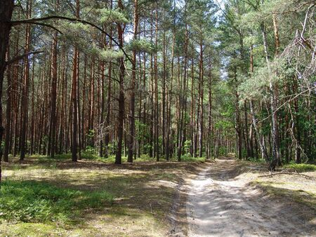 The sandy dirt road in a wild woods Stock Photo - 15652707