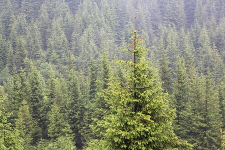 The spruce growing up in the Carpathian mountains Stock Photo