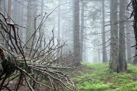 The fallen pine or spruce in the Carpathian mountains forest