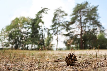 Pine cone on sand near the tree