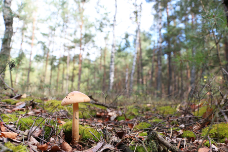 lamellar: The inedible mushroom growing in the forest, trees on background Stock Photo