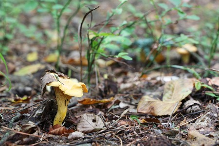 The chanterelle growing in the deciduous forest Stock Photo