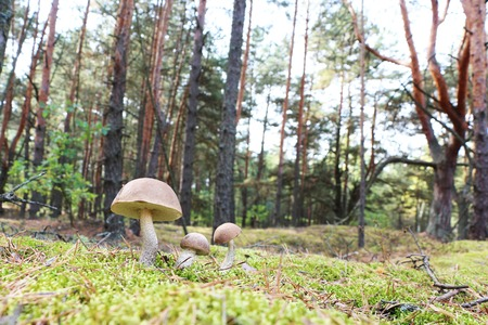 The brown-cap mushrooms grow in the green moss wood, leccinums growing in the sun rays Stock Photo
