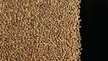 Wholegrain of pearl barley or wheat spill on left black background. Agriculture food raw seed. Closeup macro photo