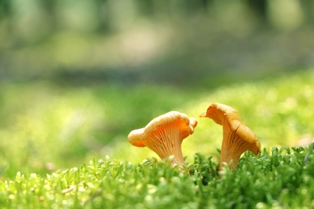 Two mushroom golden chanterelle in green forest moss. Nature meal plants wallpaper Stock Photo