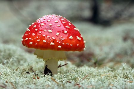 Red Agaric mushroom close-up in rain drop grow in wood. Beautiful inedible forest plant Stock Photo
