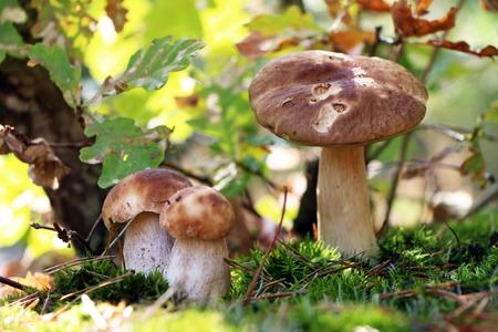 オークの葉の下で 3 つのイグチダケ成長。白いキノコ菌は、秋の木で育ちます。美しい食用 ceps