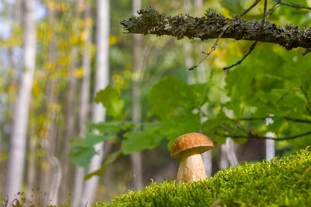 White cep in moss and sunlight. Big boletus grow in oak grove. Mushroom growing under tree. Beautiful edible autumn big raw bolete Фото со стока