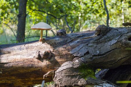 Poisonous mushroom growing from log log in forest. Natural organic toxic plants growing in wood